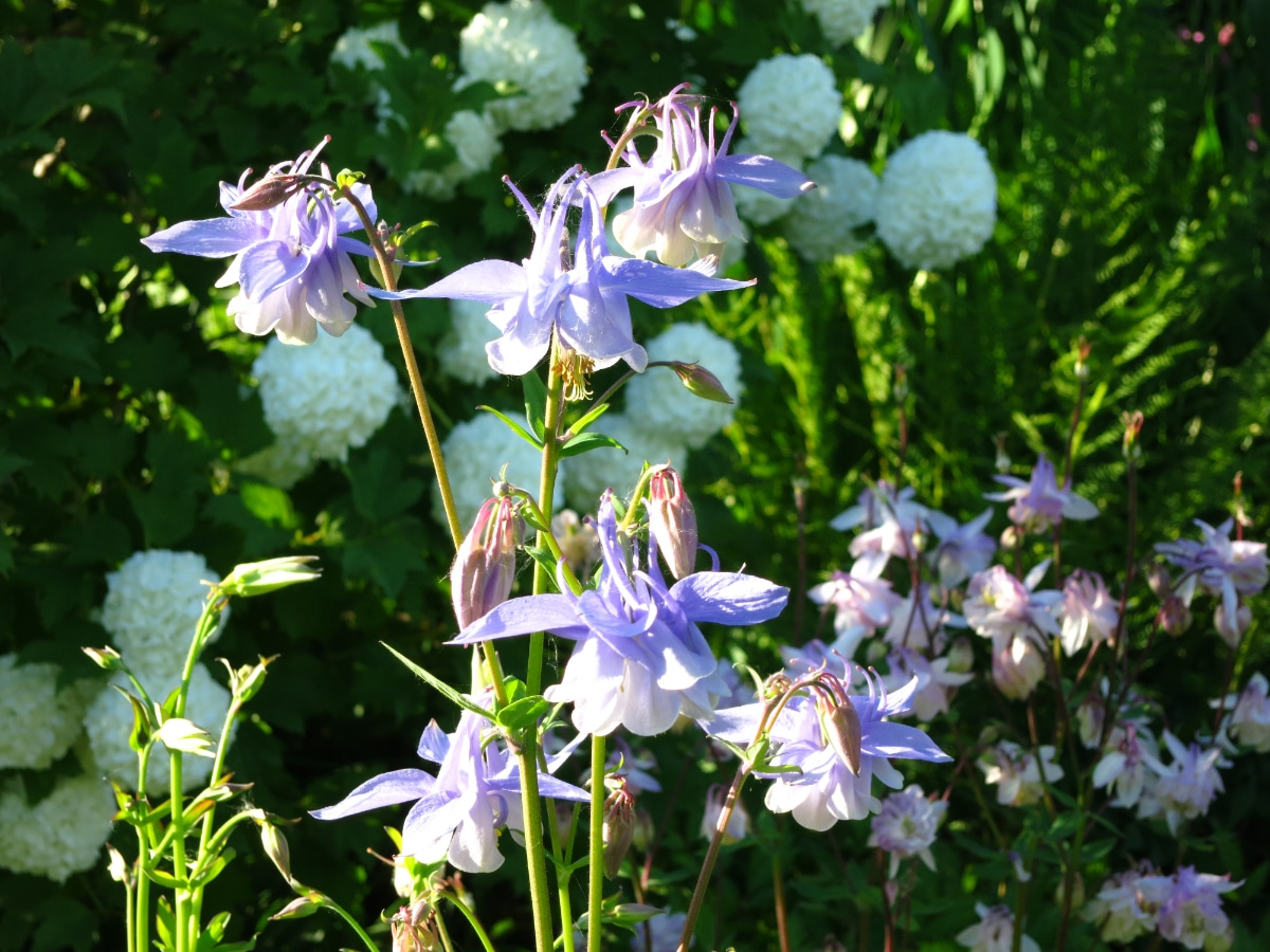Columbines in the Sun