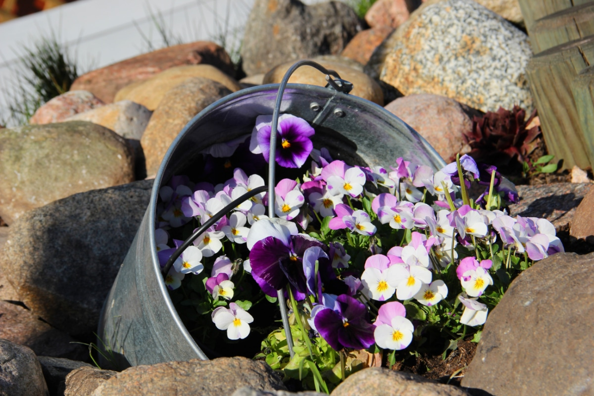 Container Pansies