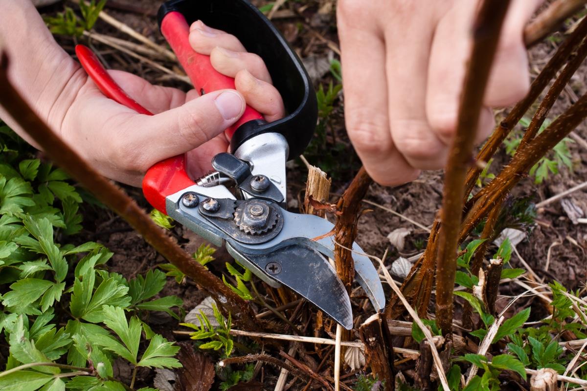 Cutting Raspberry Bush