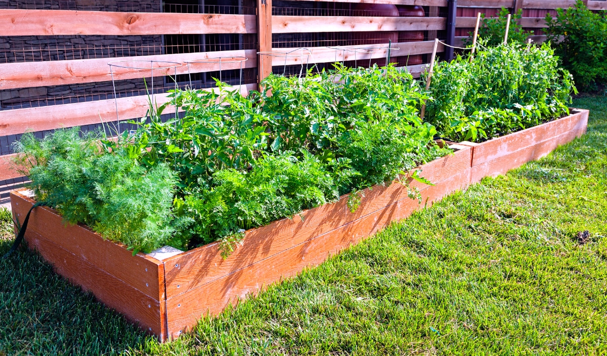 Dill with Tomatoes Plants