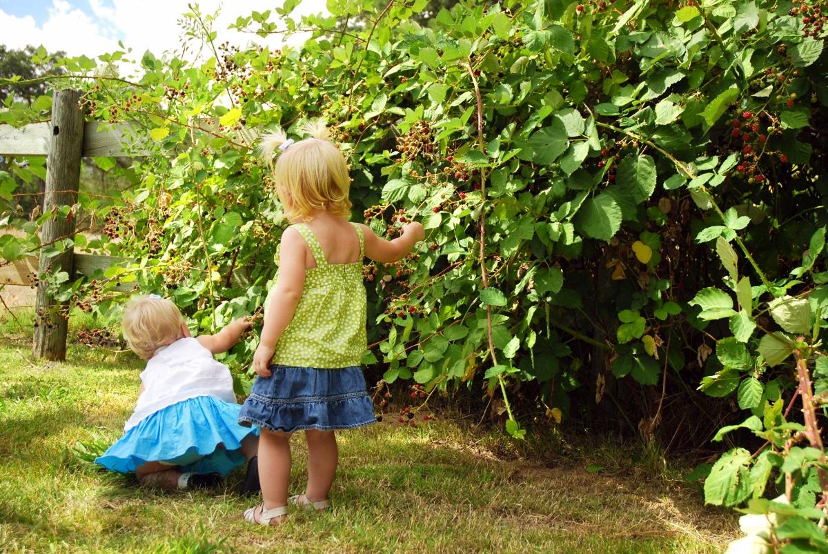 Growing Blackberries