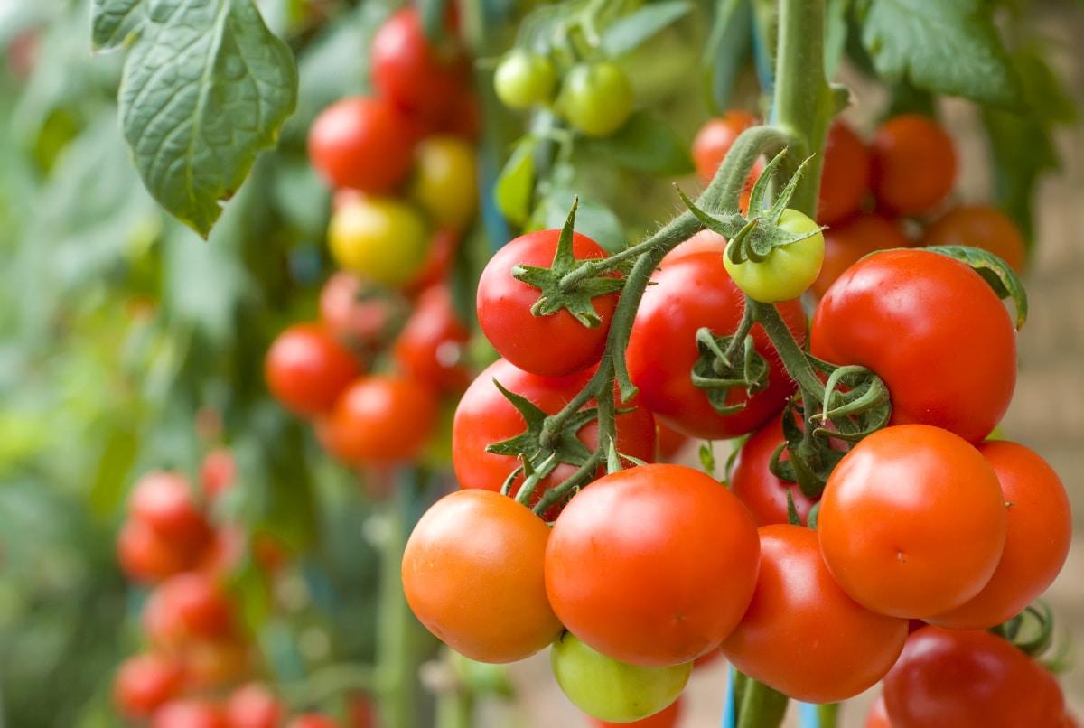 Happy Tomato Plant