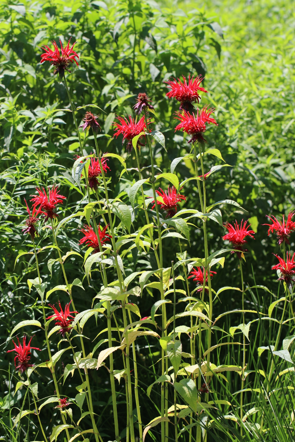 Jacob Bee Balm
