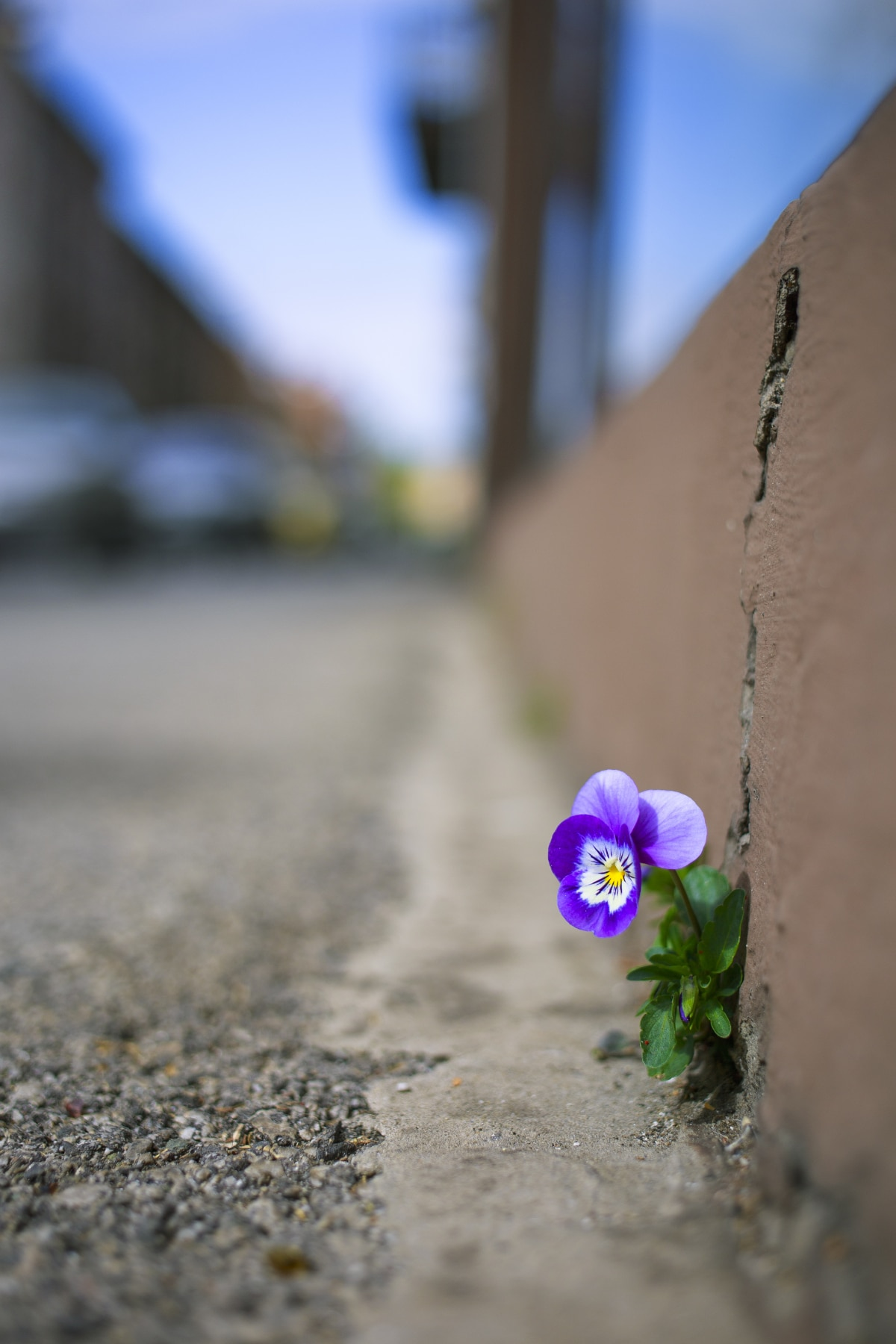 Pansies Growing in a Strange Place