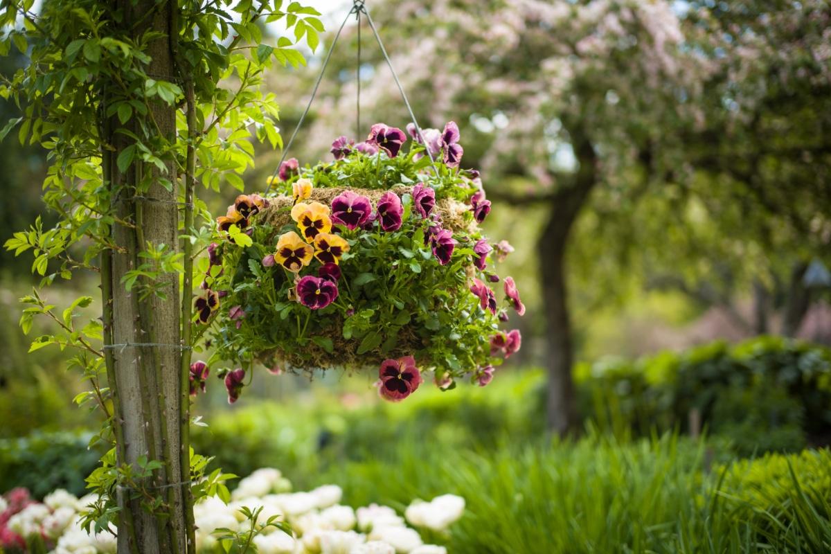 Pansies Hanging Basket
