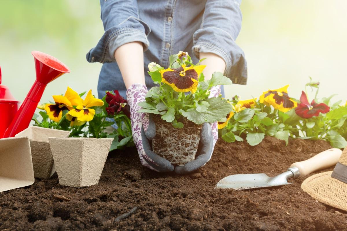 Pansies in Dirt