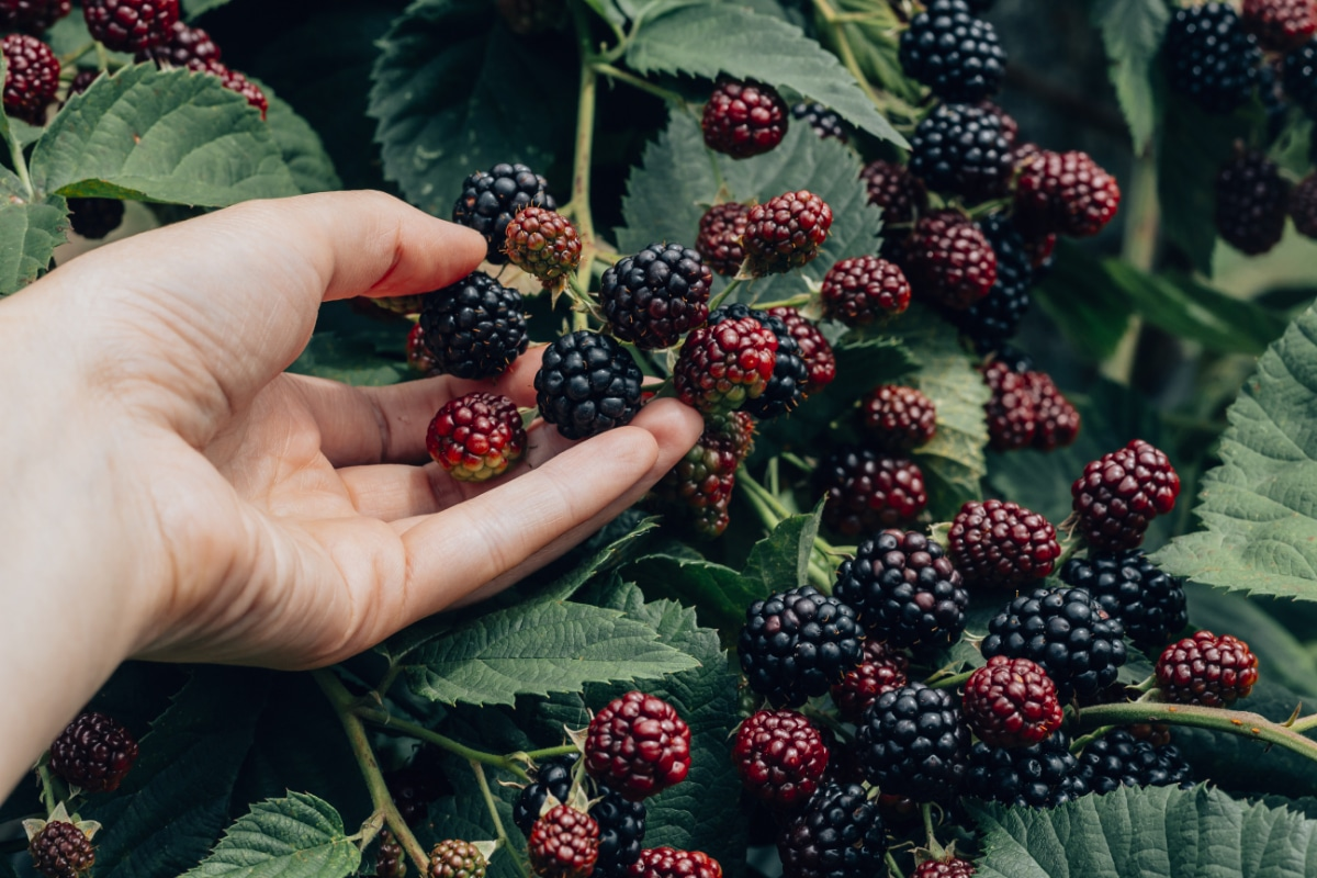 Picking Berry