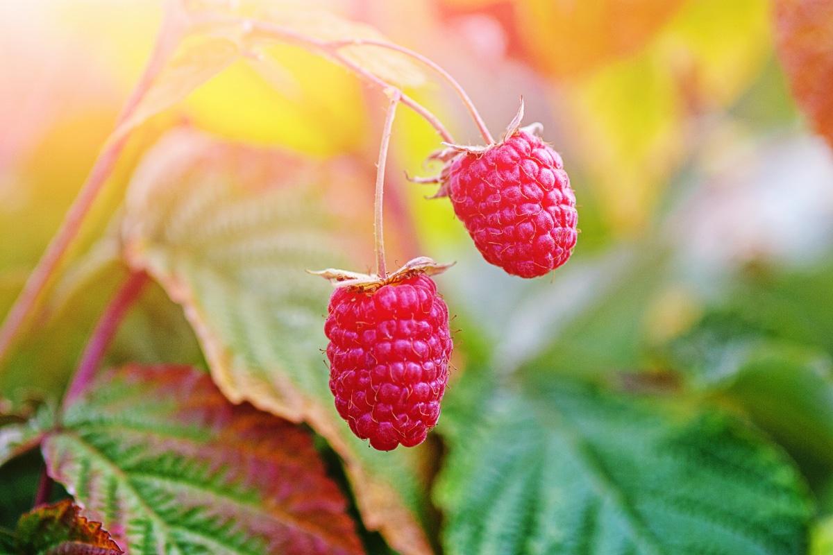 Raspberry Bush in Fall