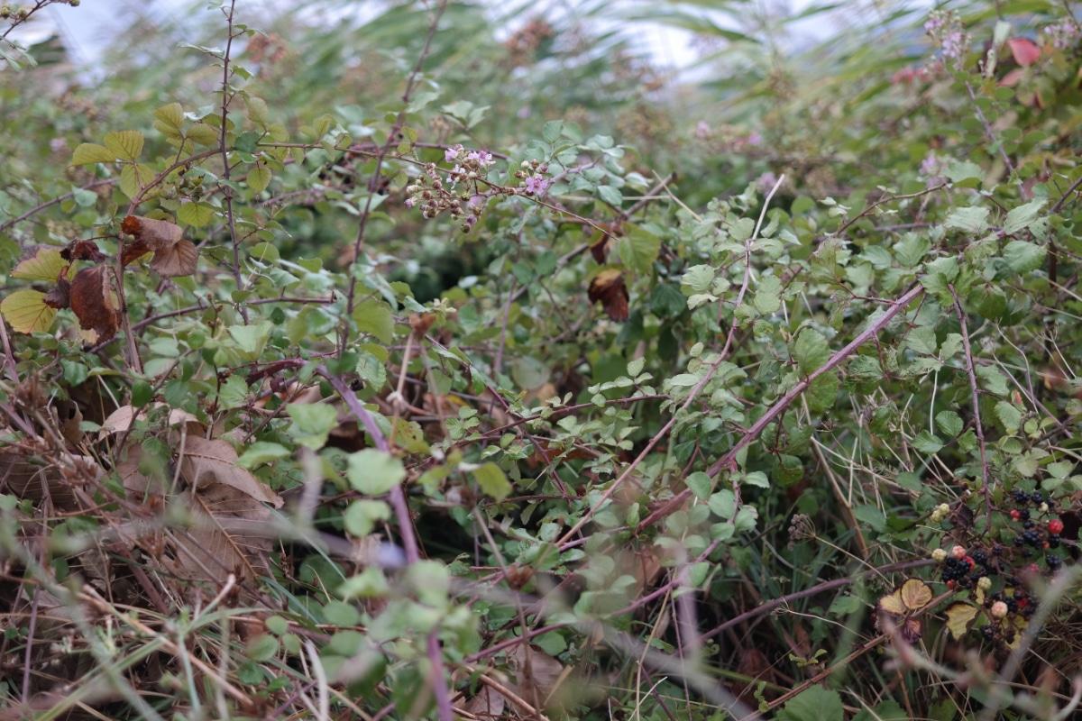 Roadside Blackberry Bush