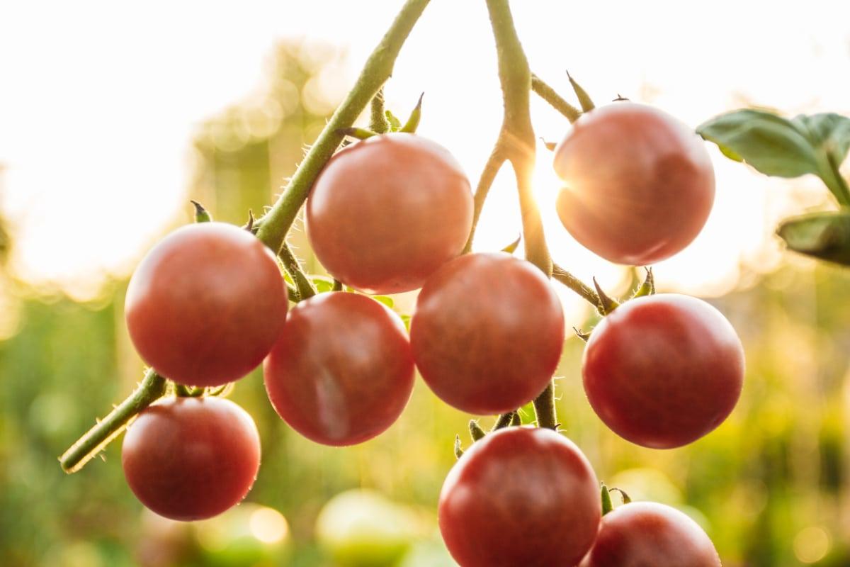 Tomato Plant in the Sun