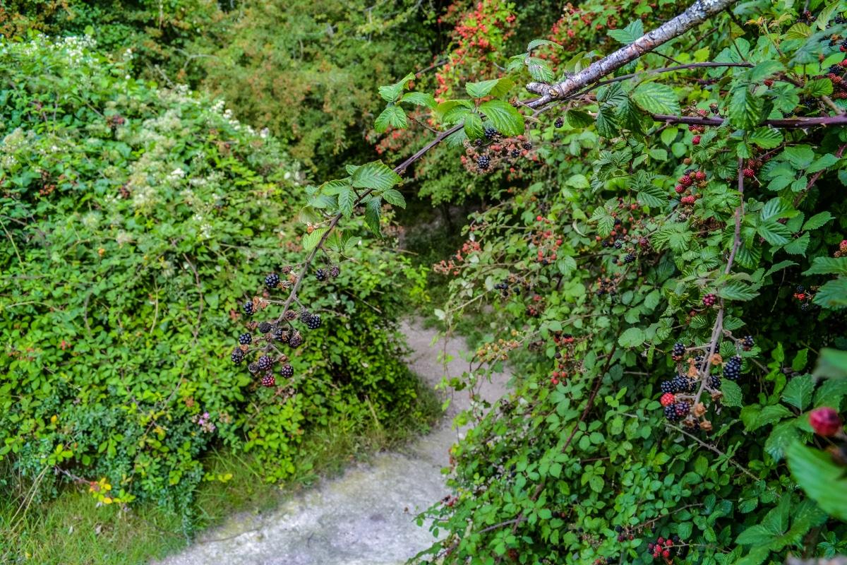 Wild Blackberry Bushes