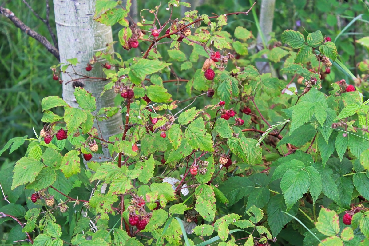 Wild Raspberry Bush