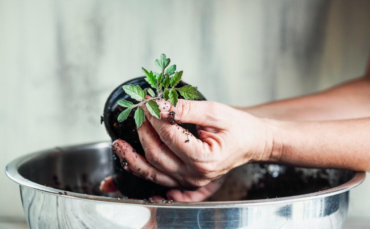 Compost Around Tomatoes