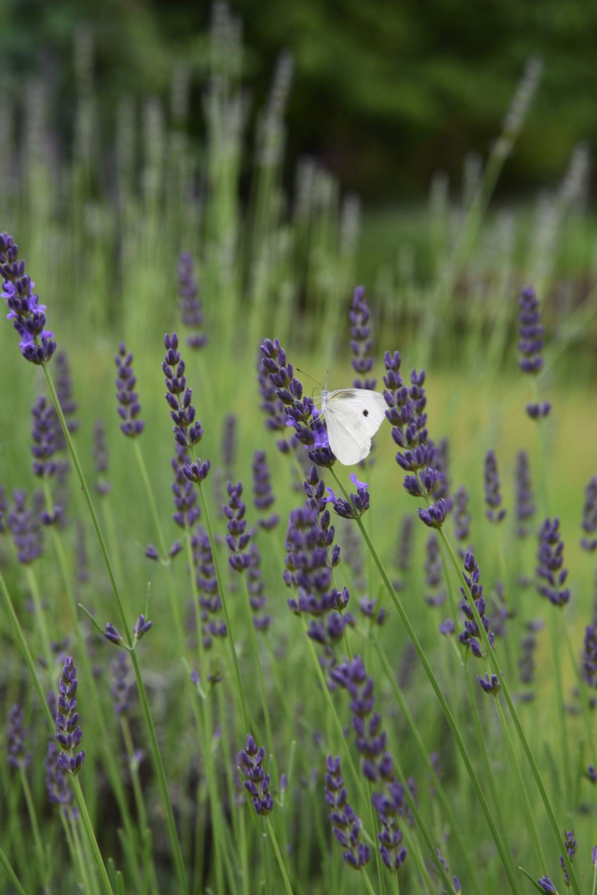 English Hybrid Lavender
