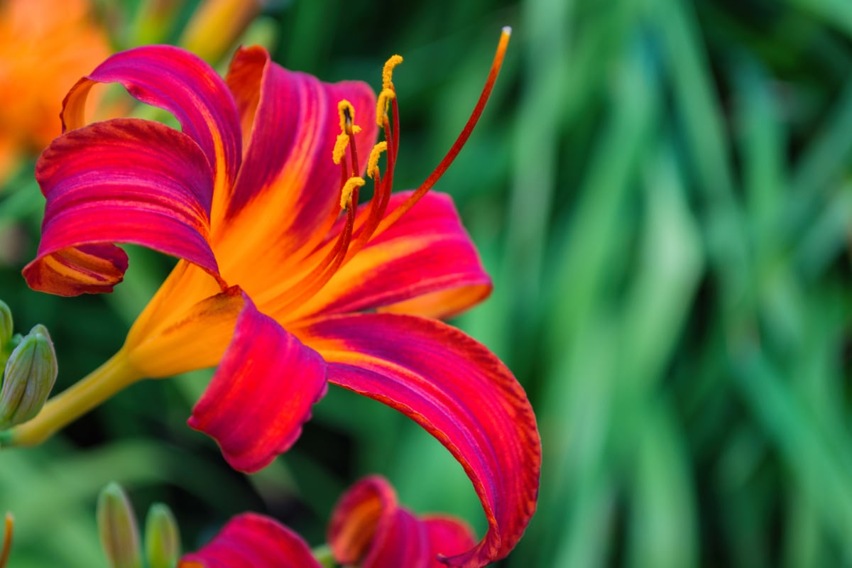 Everblooming Daylilies