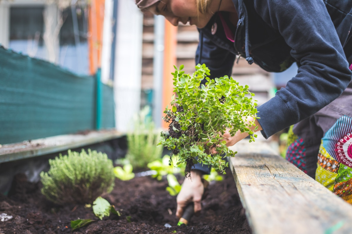 Fertilize Herbs