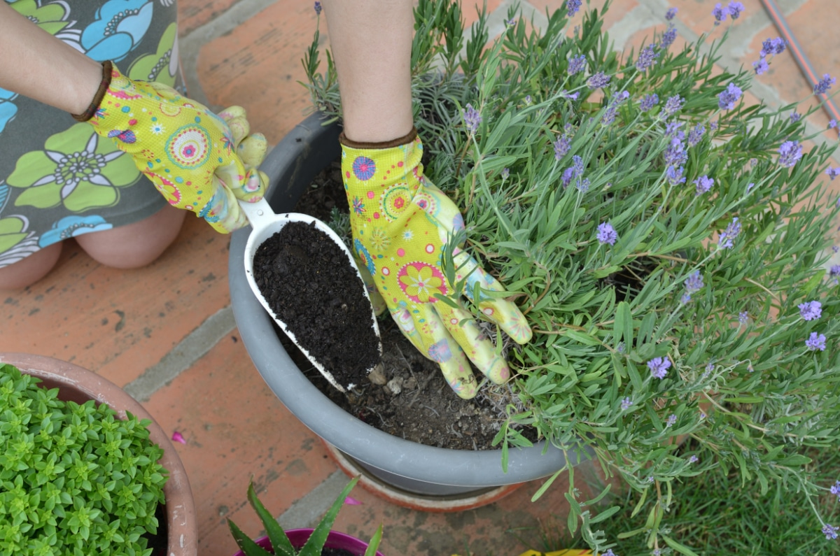 Fertilize Lavender