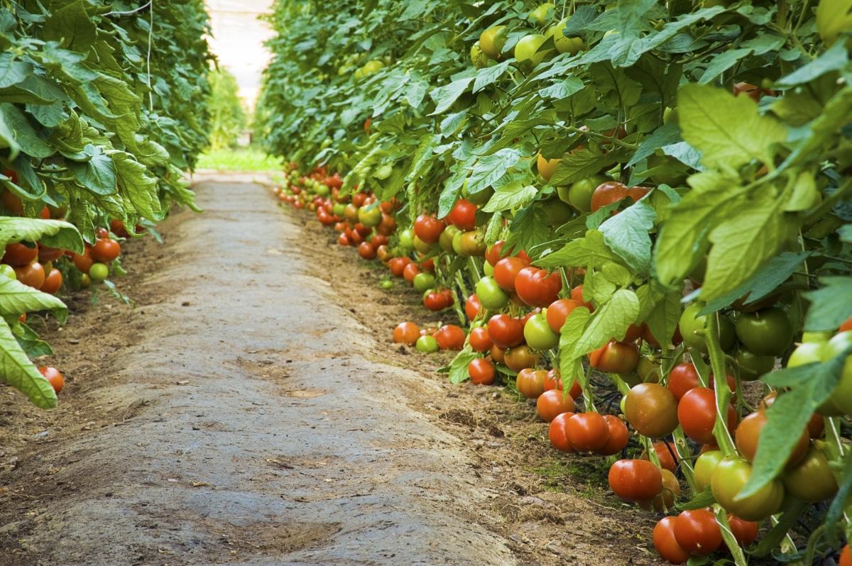 Happy Tomato Plants