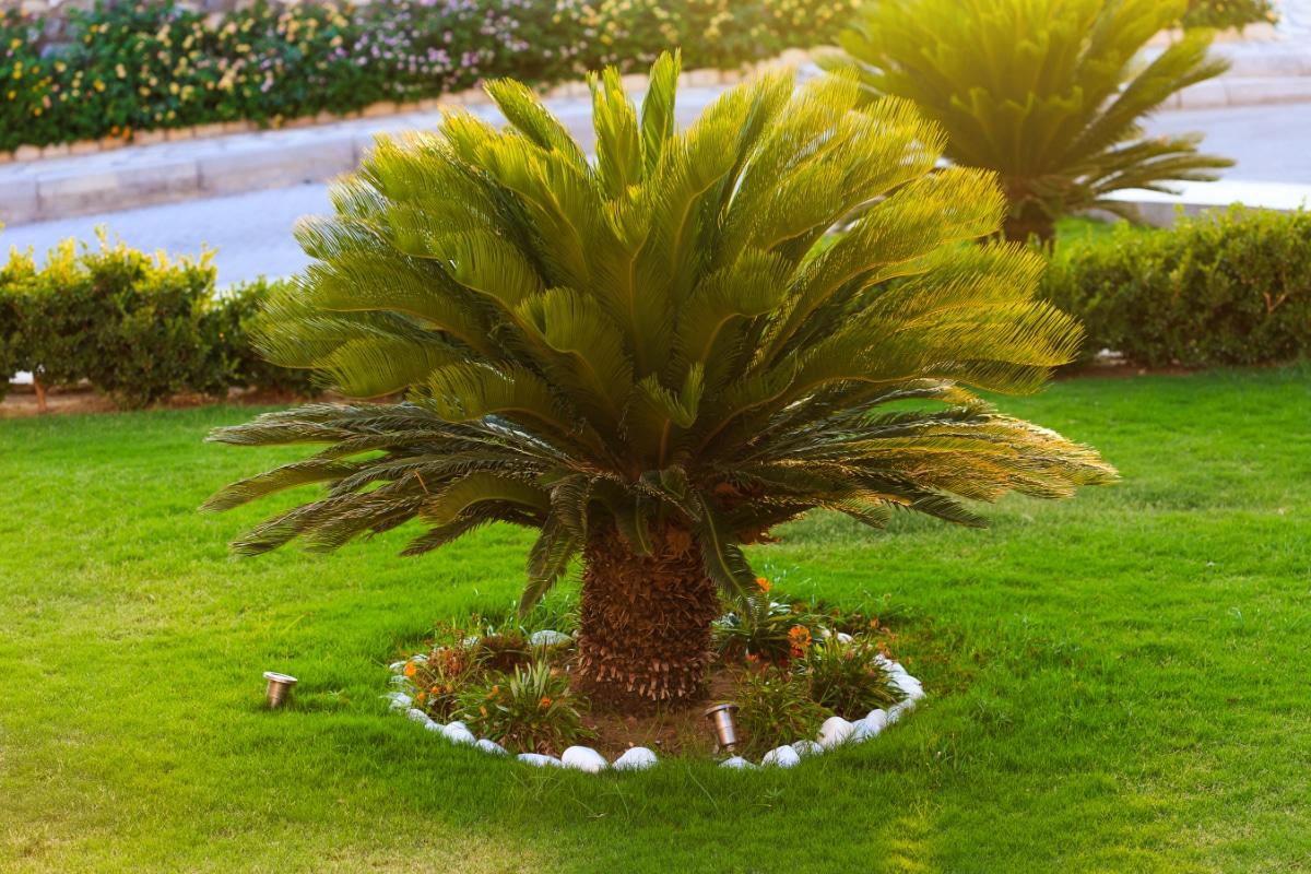 Japanese Sago Palms