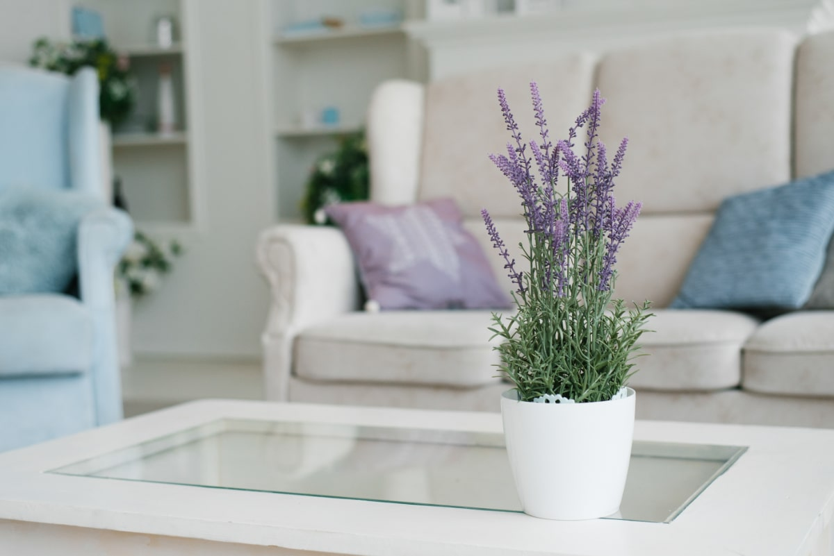 Lavender Indoors