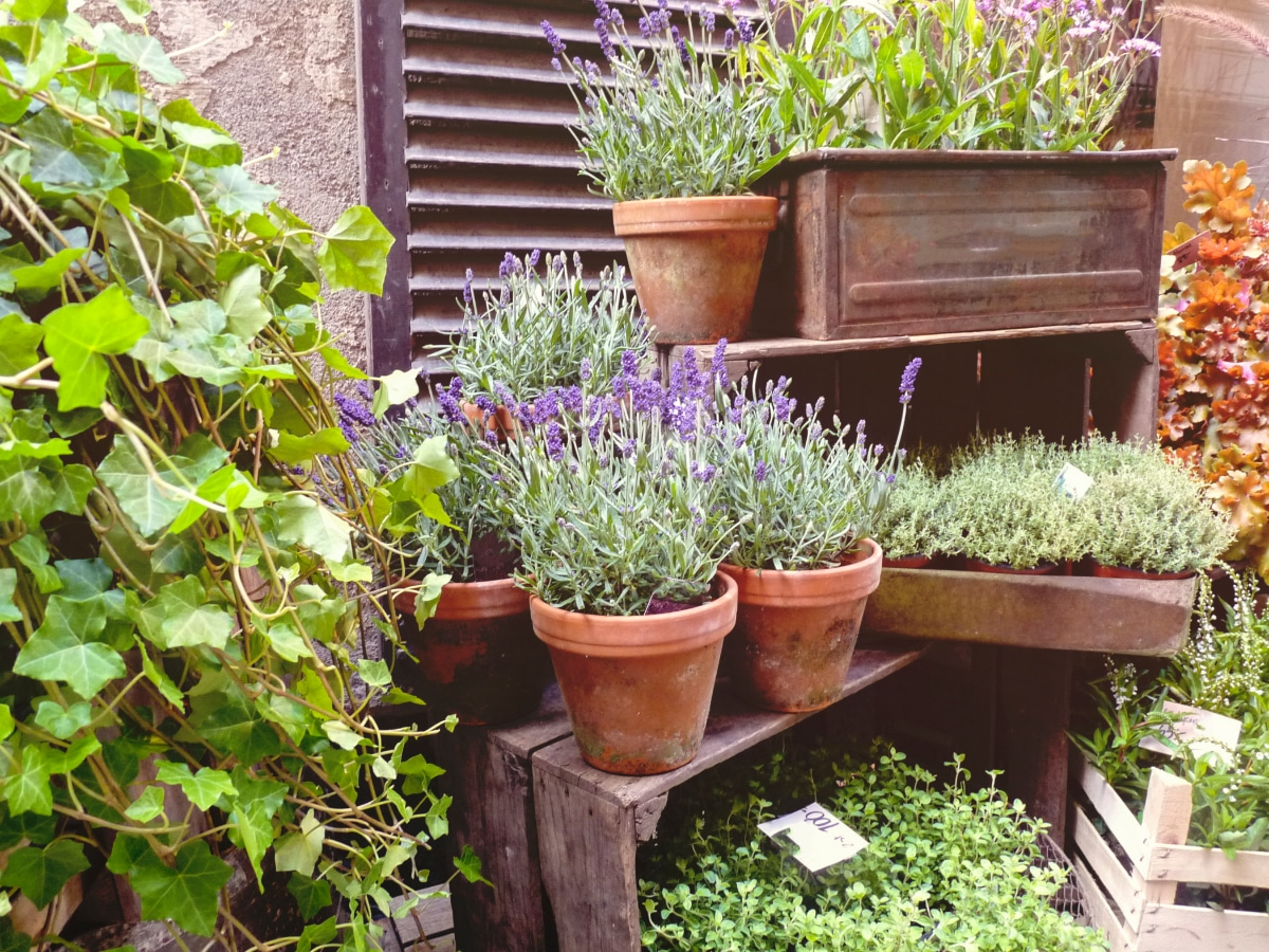 Lavender in Containers
