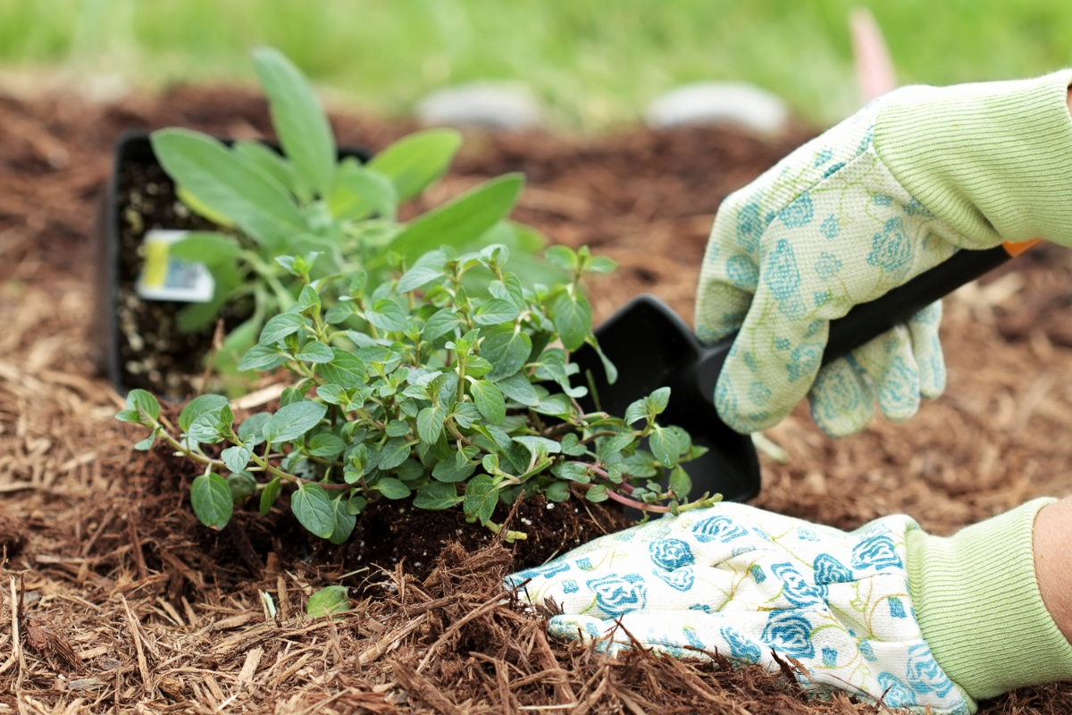 Mulched Herbs