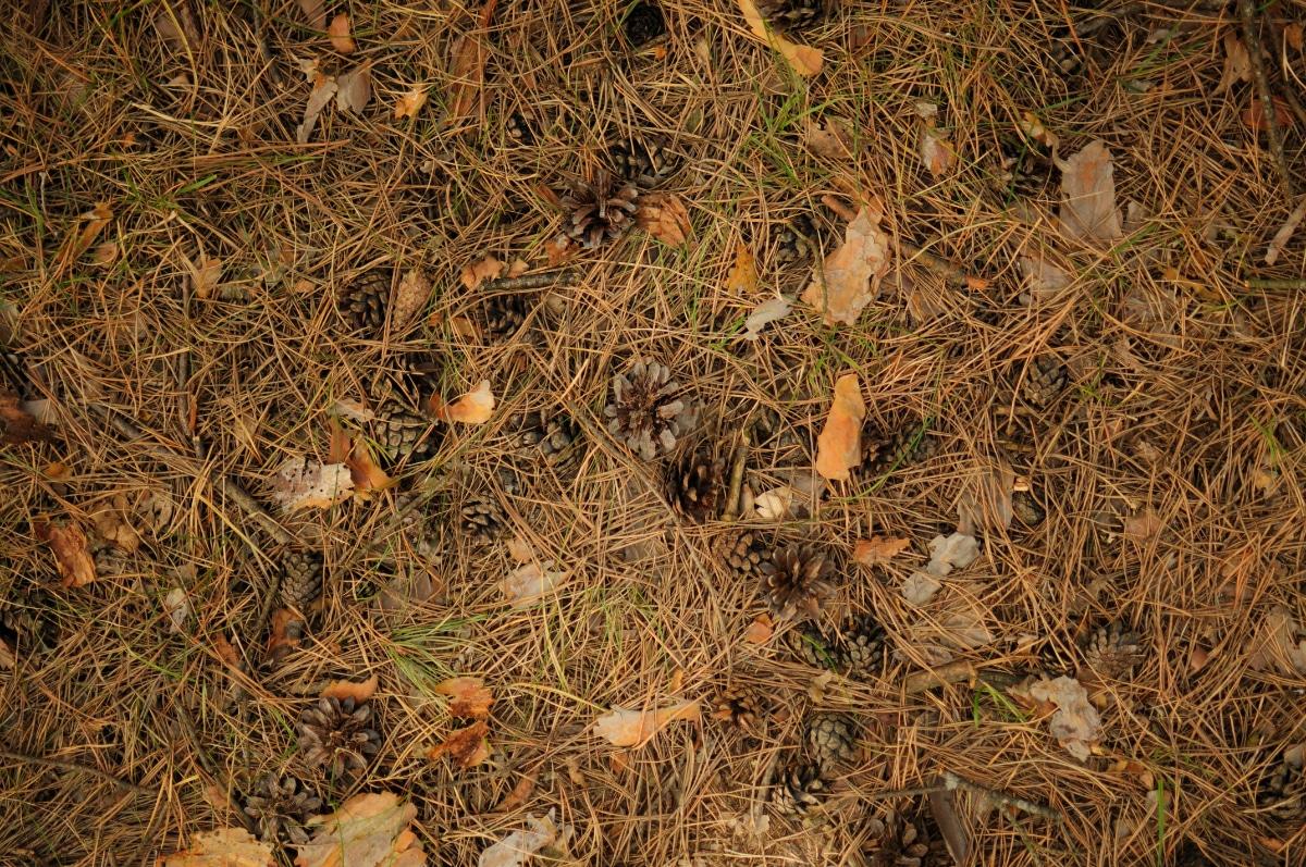 Pine Needles in Soil