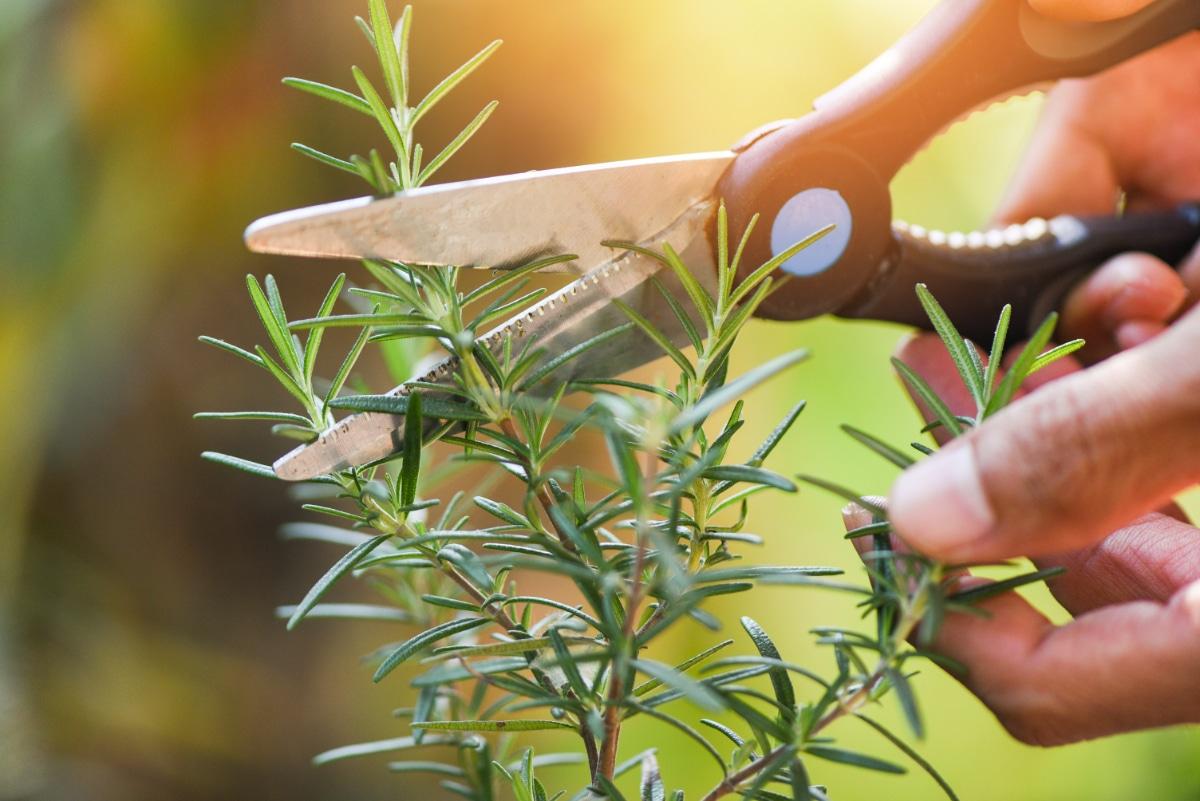 Prune Herbs