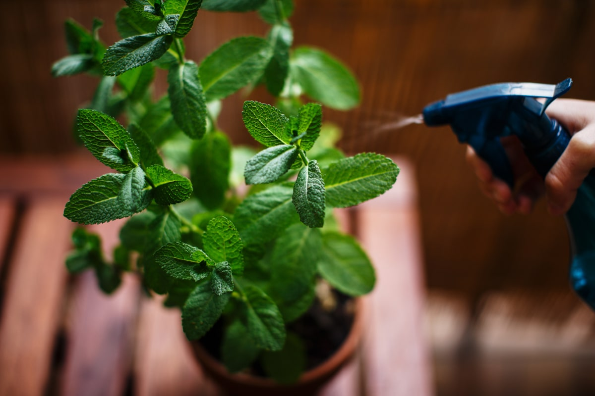 Spraying Herbs