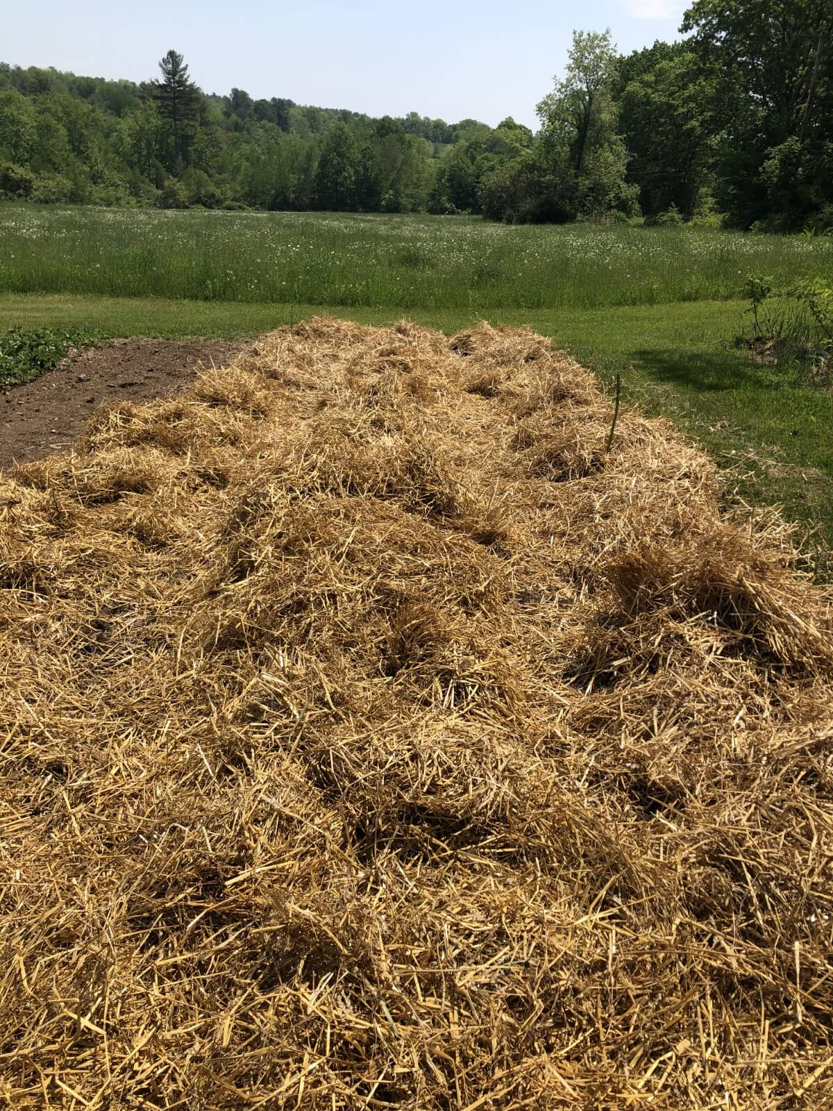 asparagus bed mulched with straw