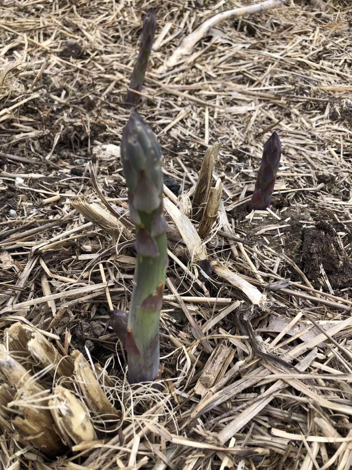 growing asparagus spears