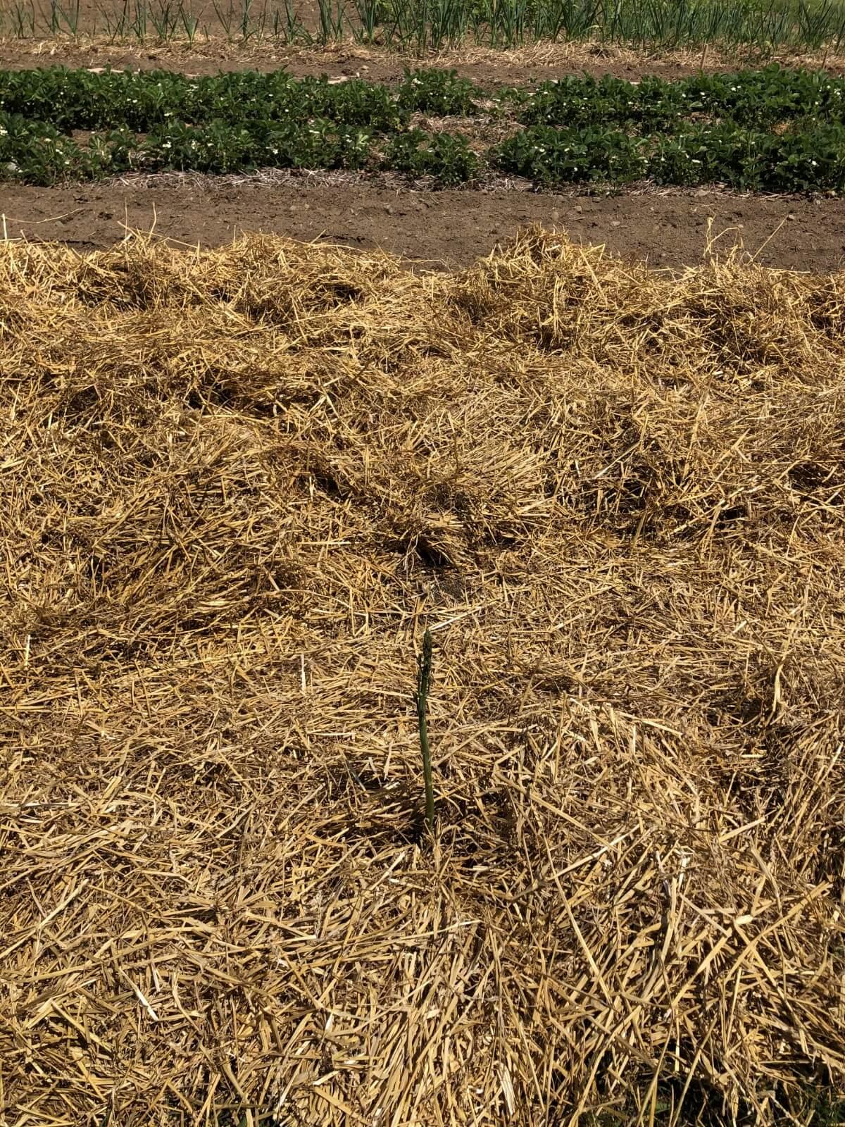 new asparagus growth
