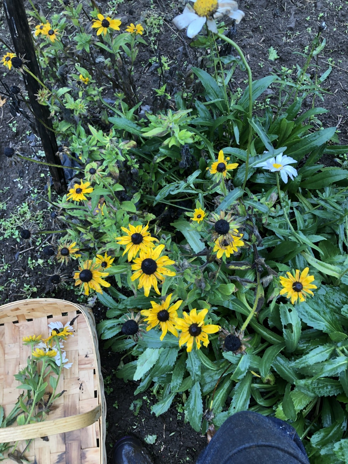 Black eyed susans and daisies planted for cut flowers