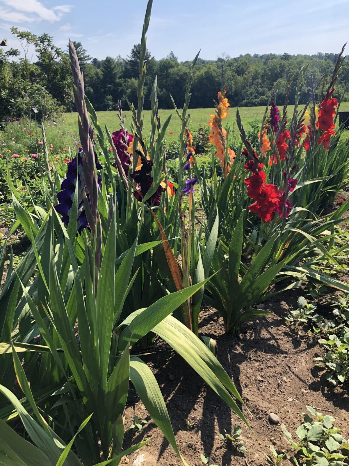 row of gladiolas in vegetable garden