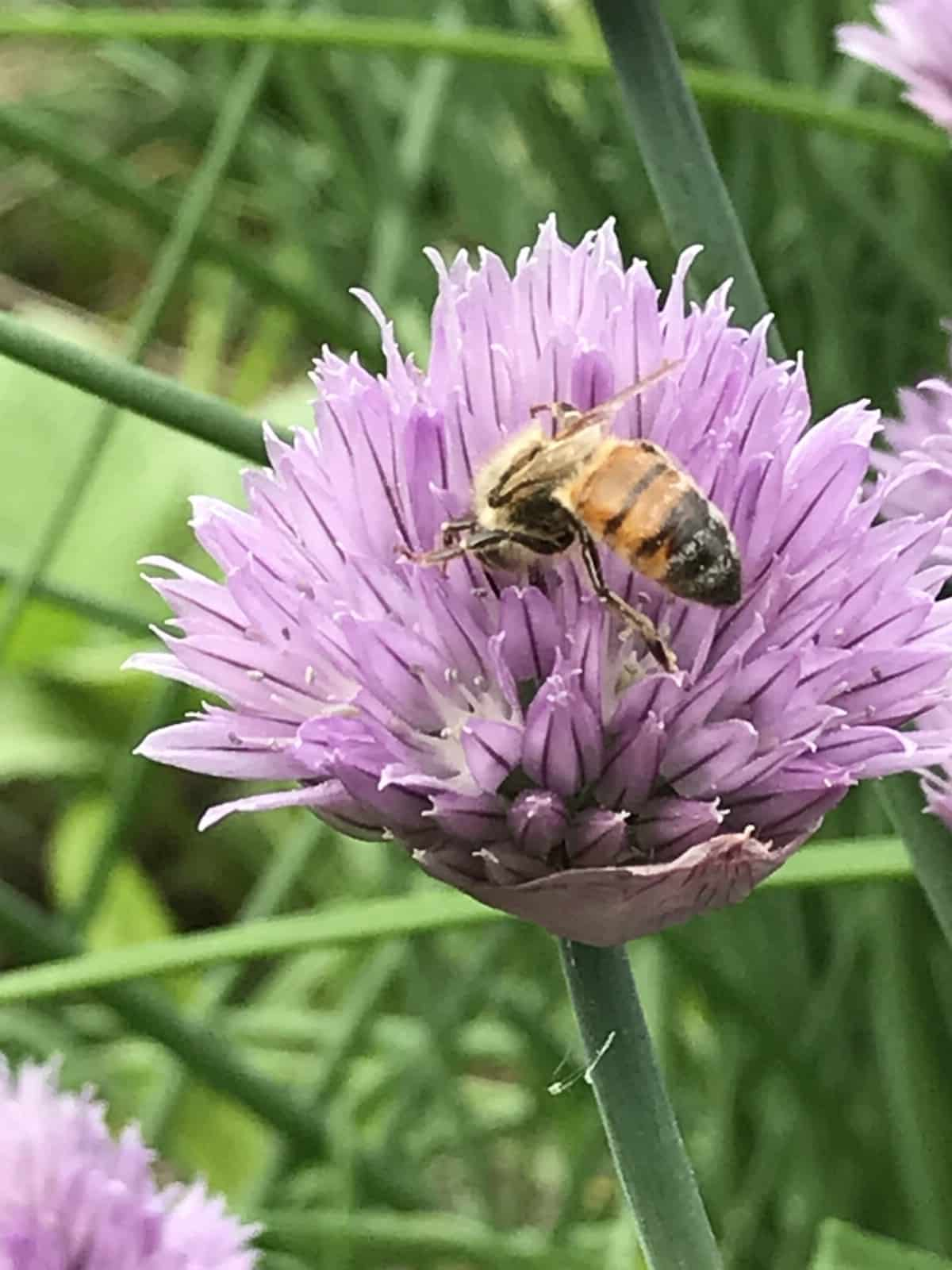honeybee on chive blossom