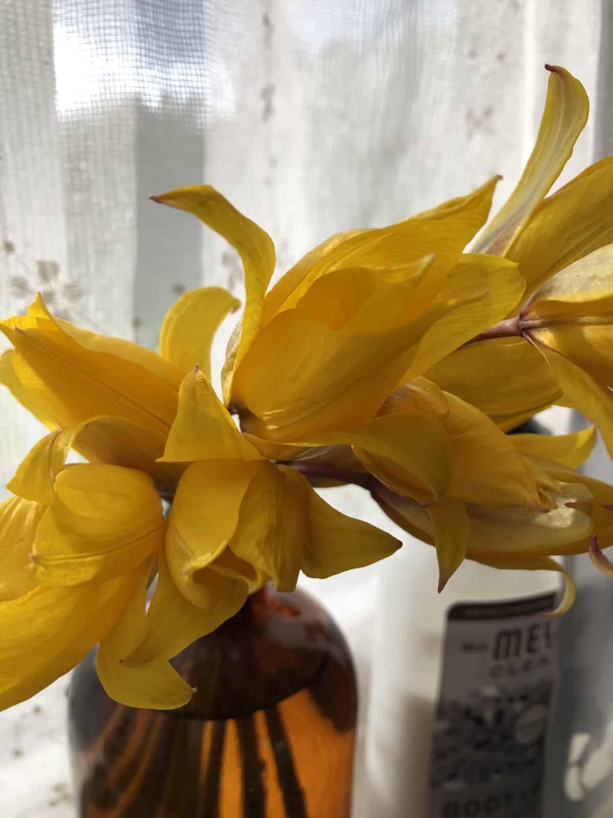 spring daffodils in vase