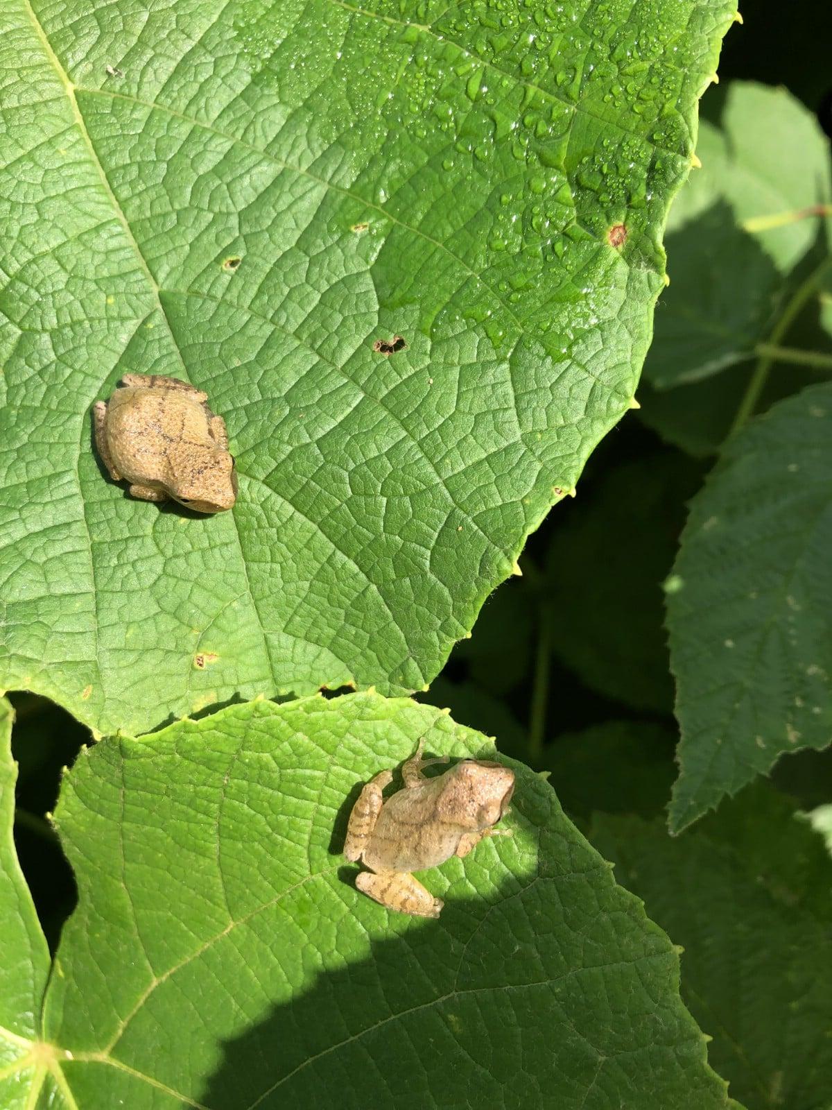 peeper frogs on leaves