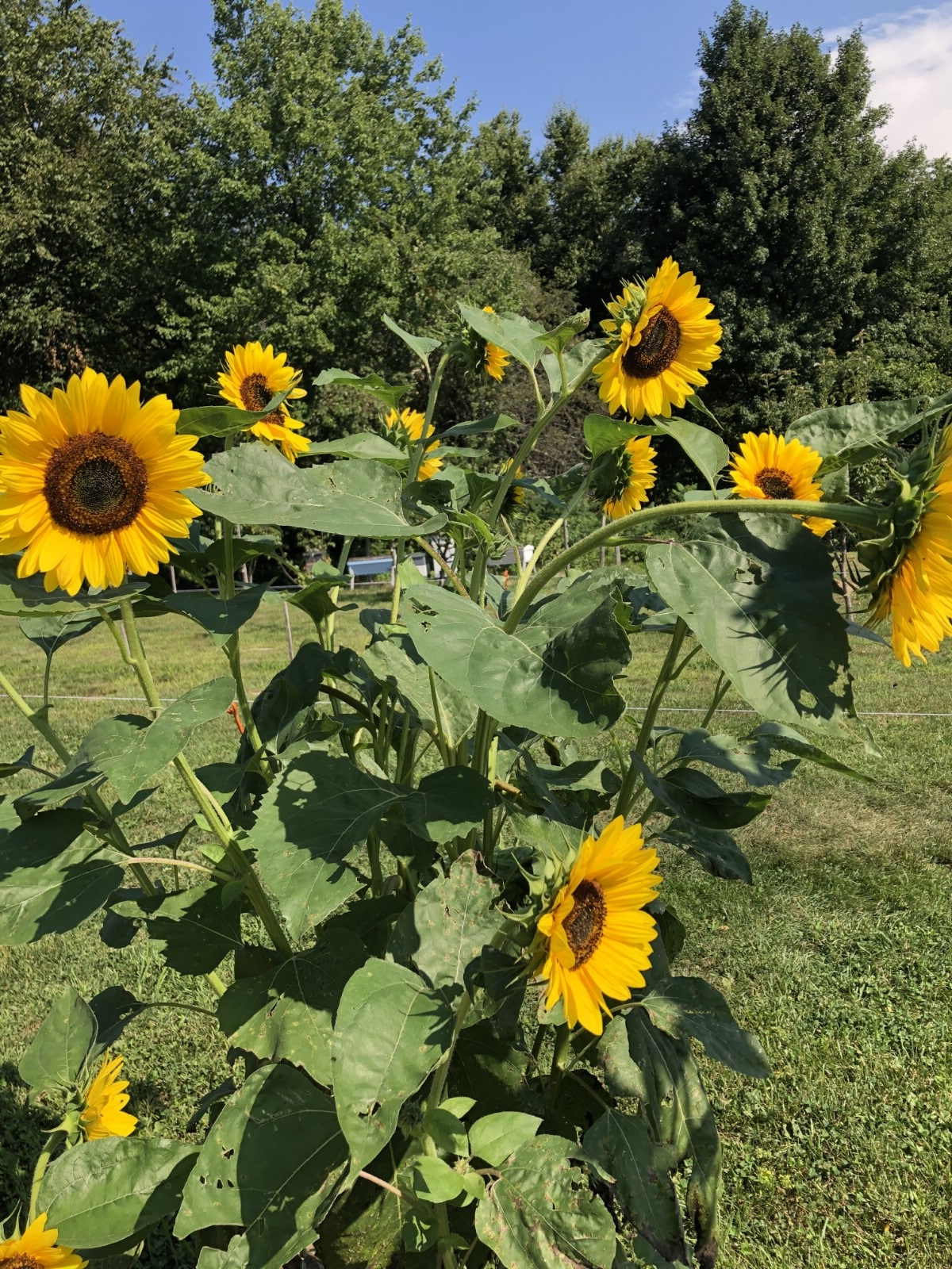 summer sunflowers in a row