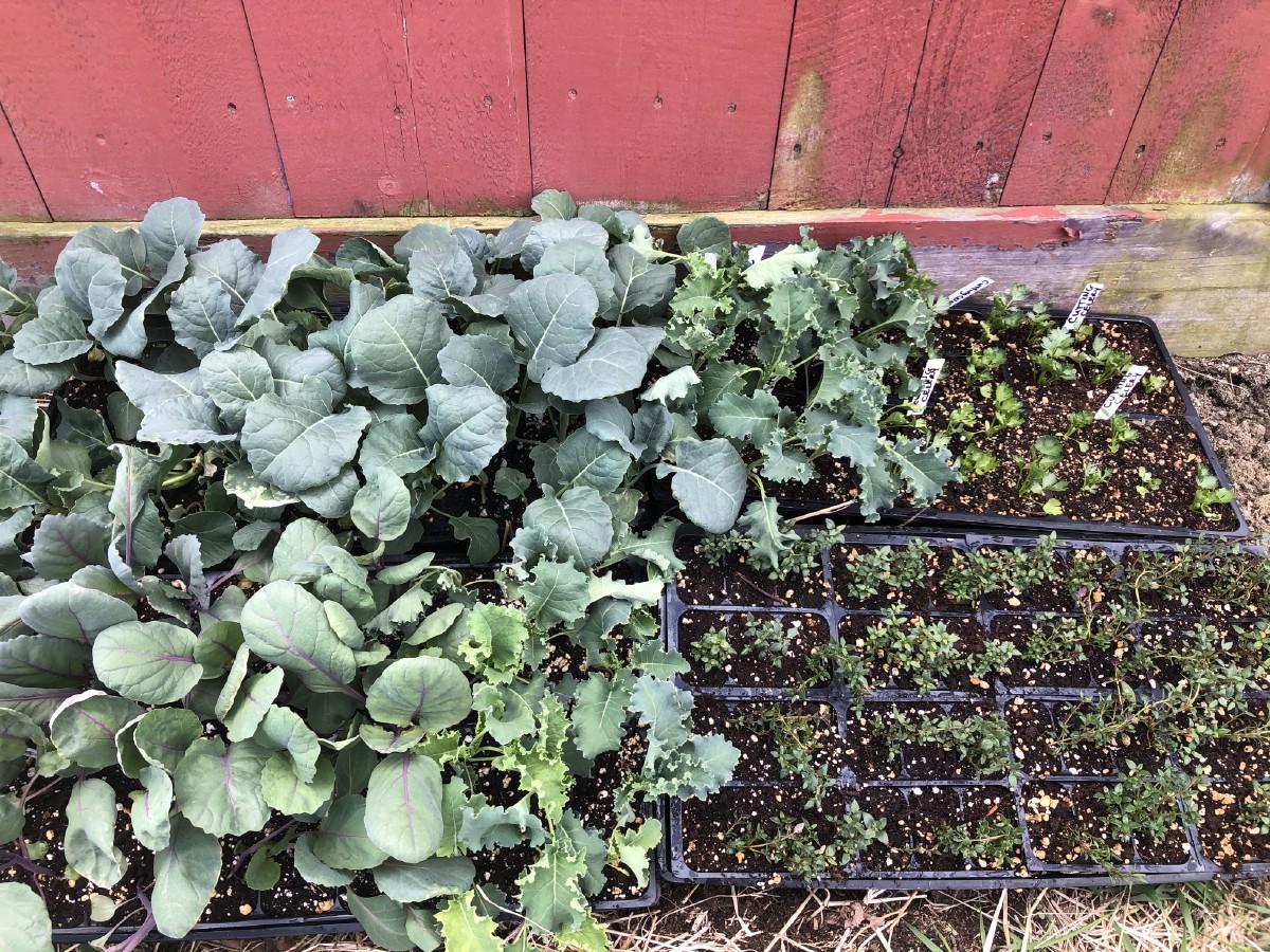 garden transplants in the shade