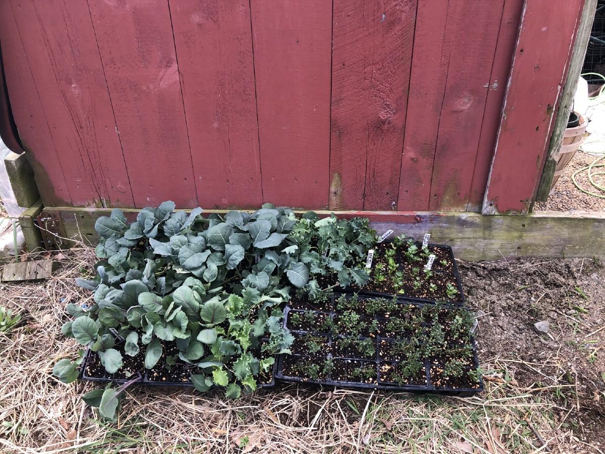 garden transplants in shade