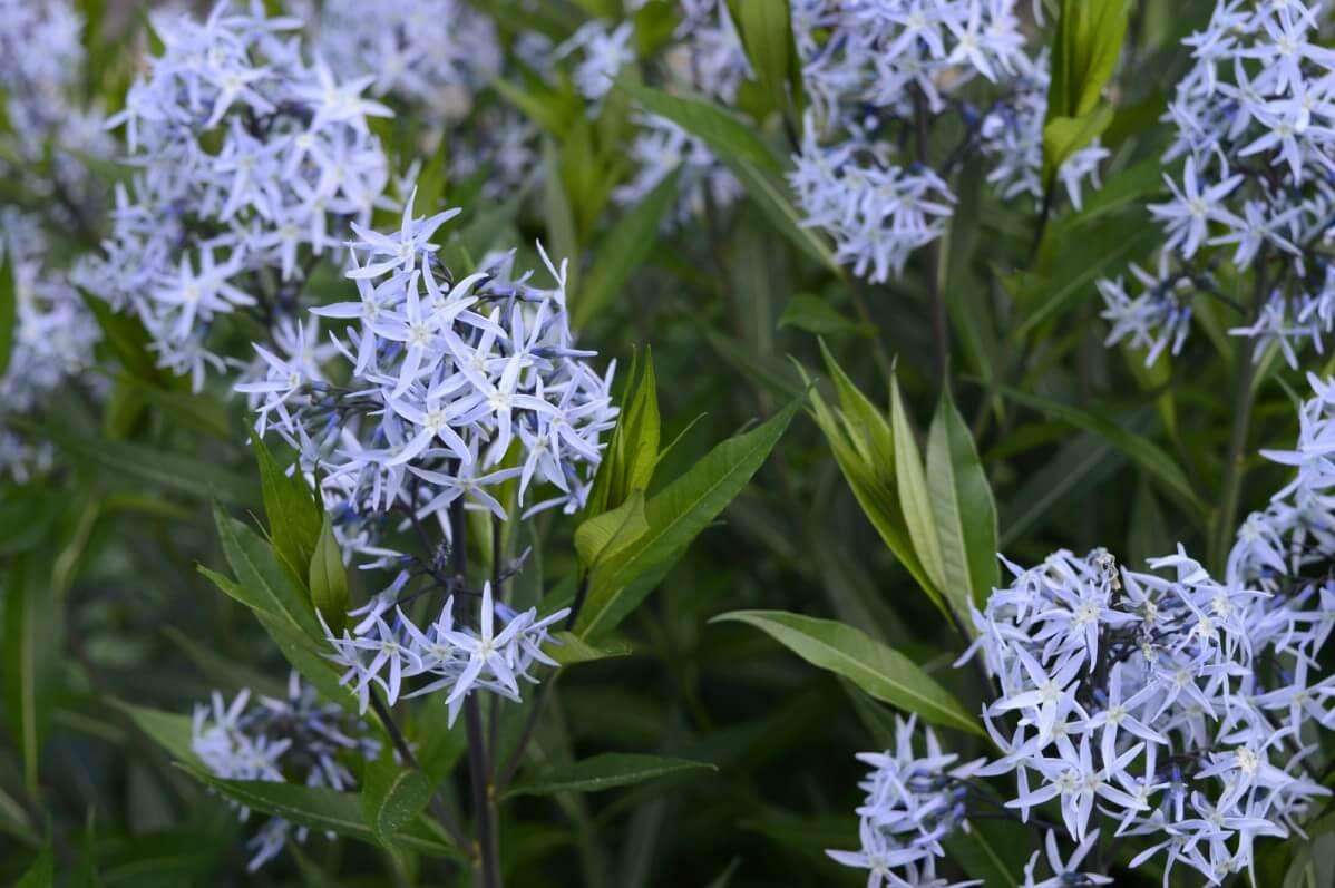 light blue star shaped flowers