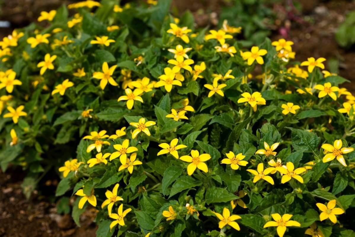 Golden knee flowers in the garden