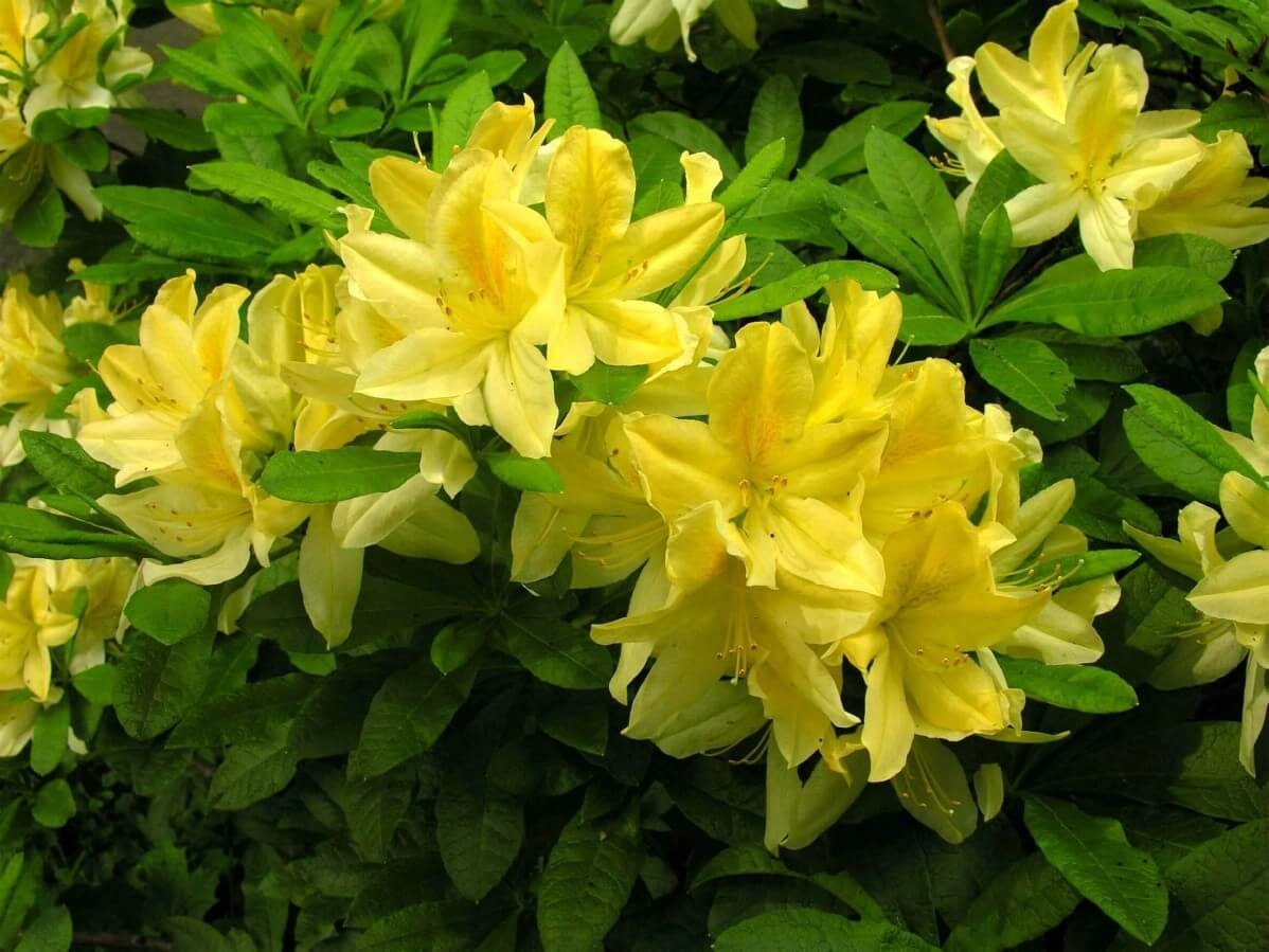 Yellow Azalea flowers close up
