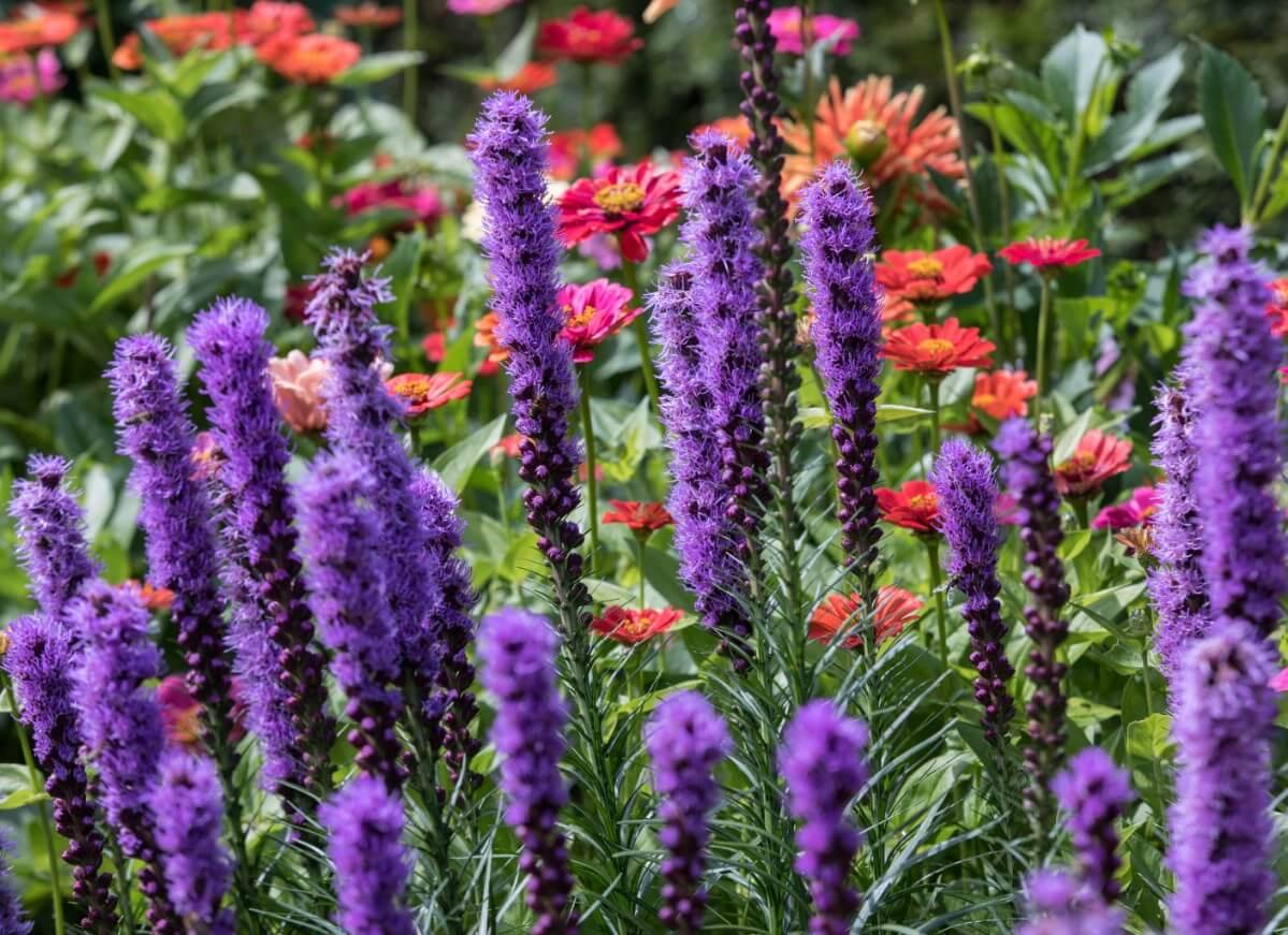 long fuzzy liatris flowers