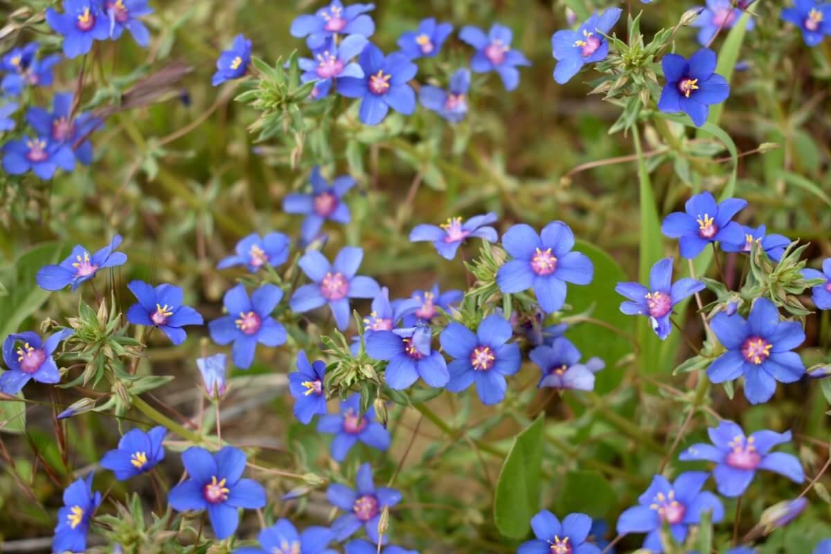 Italian Blugoss flowers in bloom