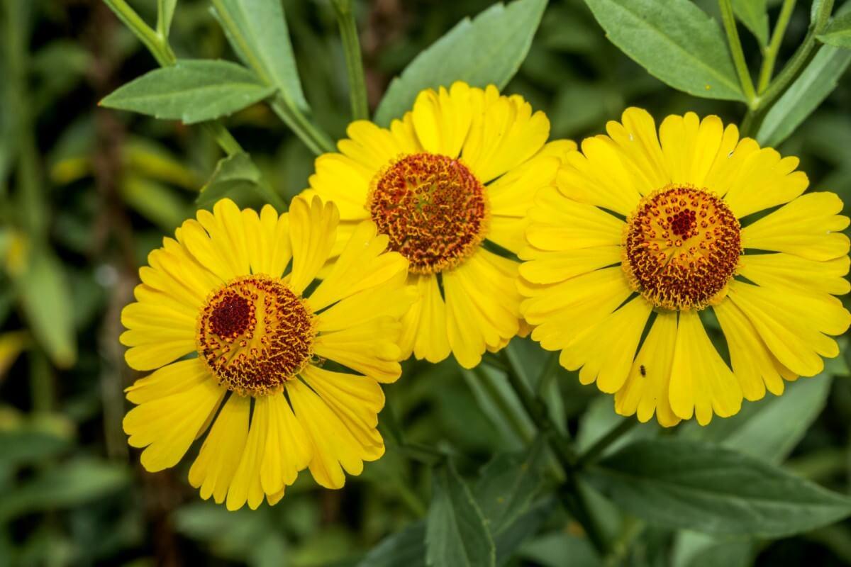 False sunflower flowers