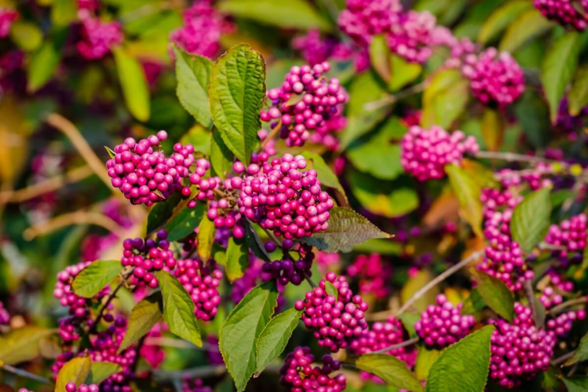 purple beautyberry clusters