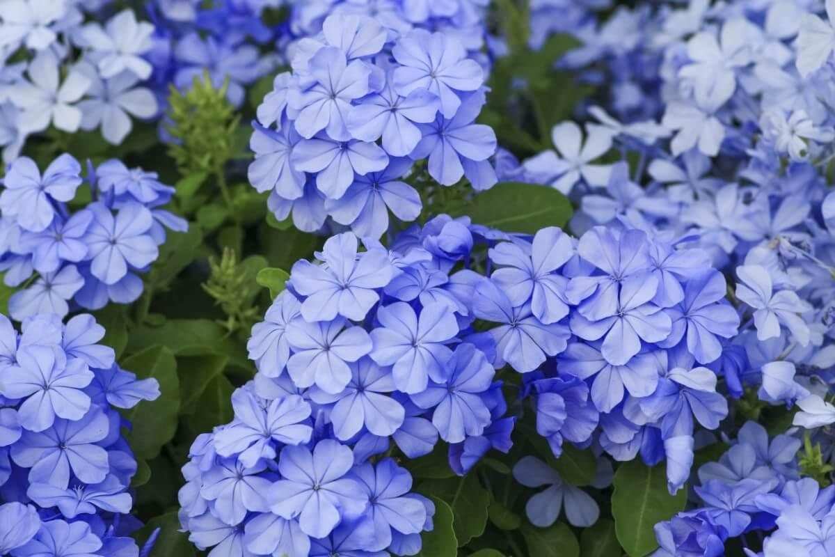 clustered blue blossoms on Cape Plumbago bush