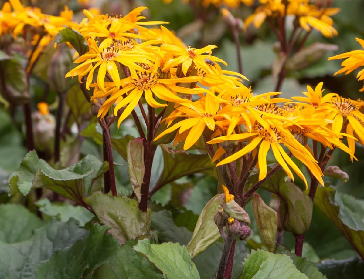 Ligularia flowers close up