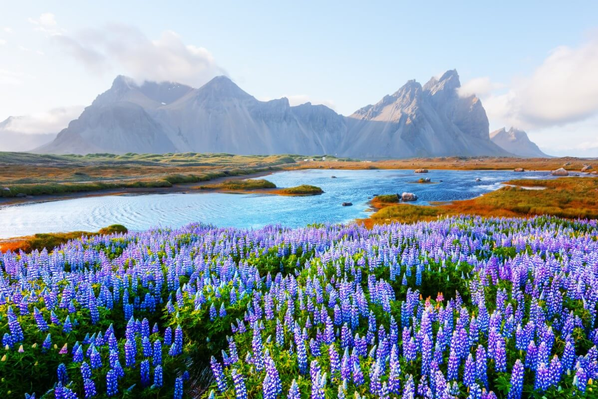 mass of native blue lupine near lake with mountains in the background